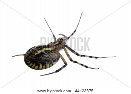 Wasp Spider Turnover Isolated On White