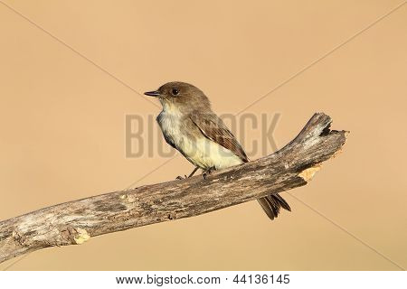 Eastern Phoebe - Texas