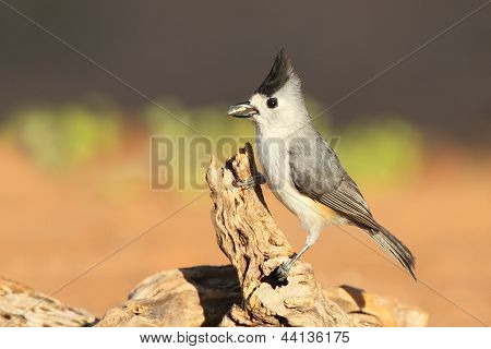 Black-crested Titmouse - Texas