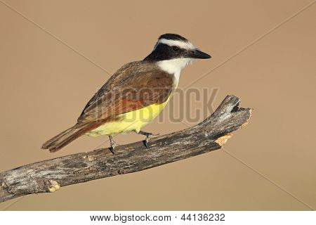Great Kiskadee - Texas