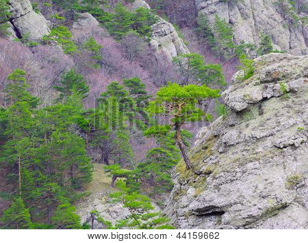 Strong Pine-Tree on the Rock in the Beautiful Mountains of Crimea, Ukraine
