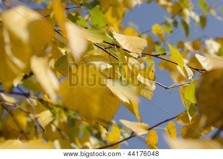 Hojas amarillas de otoño