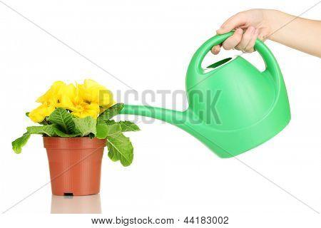 Bela primula amarelo em vaso e regador, isolado no branco