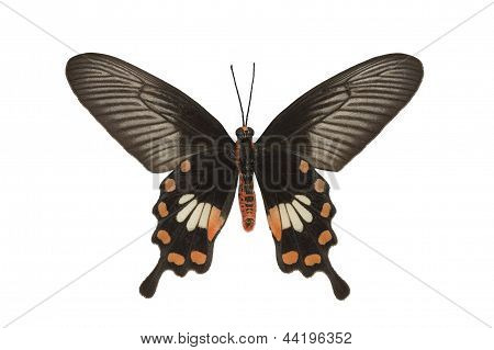 Butterfly Common Rose Isolated