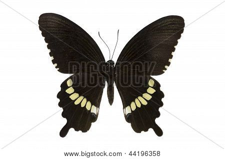 Butterfly The Common Mormon Isolated
