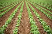 pic of rich soil  - a beautiful green Bean Field with Rows and Rows of Green String Beans growing in the rich brown earth - JPG