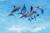 stock photo of bottlenose dolphin  - A Group of Bottlenose Dolphins  - JPG