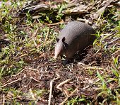 pic of armadillo  - Armadillo that is walking toward the camera with its ears up - JPG