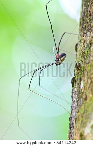 Harvestman Spider Or Daddy Longlegs