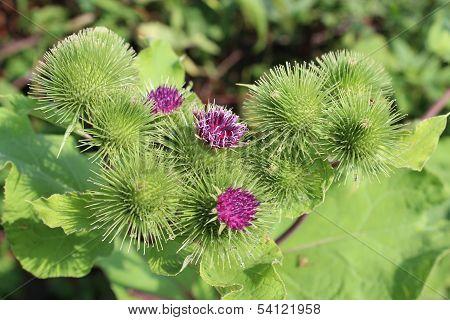 Blooming Flowers Of Agrimonies