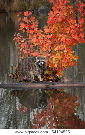 Raccoon (Procyon lotor) Cries Out From Log In Pond