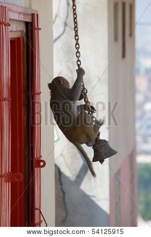 Rhesus macaque swinging on a bell chain