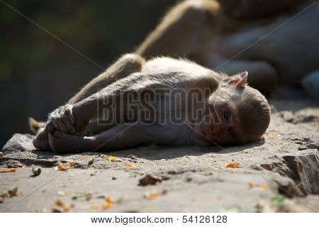 Rhesus macaque lying on a wall