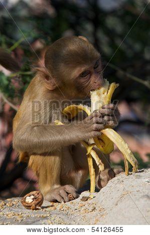 Rhesus macaque eating a banana