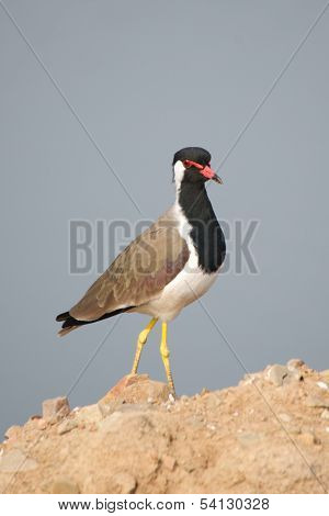 Red-wattled lapwing on rocks