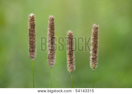 Meadow Foxtail Grass