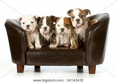 litter of puppies - english bulldog puppies sitting on a couch - 8 weeks old