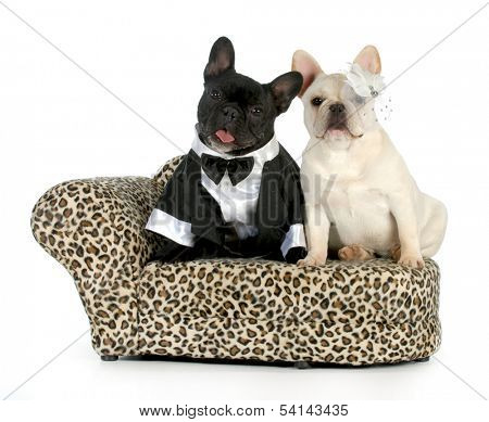 dog couple - french bulldogs dressed up like a man and woman isolated on white background