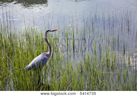 Blue Heron In Hilton Head