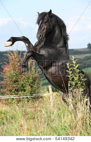 Beautiful Black Horse Prancing On Pasturage