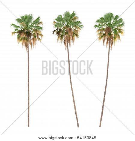 Palm tree isolated. ?ocos nucifera