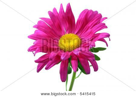 Aster Flower Isolated On White