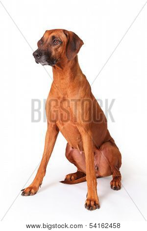 Rhodesian Ridgeback portrait on a white background