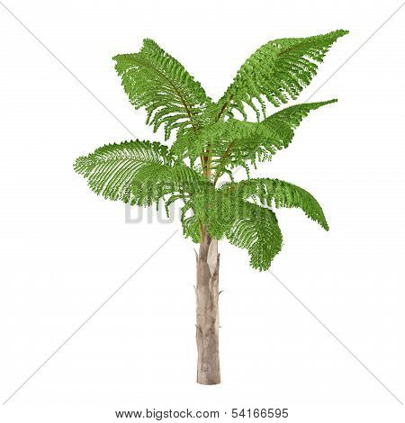 Palm tree isolated. Caryota gigas