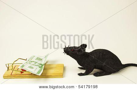 Greedy Rat 1
