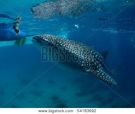 Whale shark (Rhincodon typus) taking food near surface from human hands