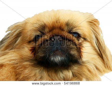 Portrait of a funny Pekinese
