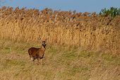 picture of deer rack  - Whitetail Deer Buck standing in a field.