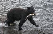 stock photo of chums  - Black bear catches chum salmon - JPG