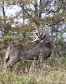 stock photo of buck  - Whitetail deer buck rubs his scent on a licking branch.  Rut behavior.  Autumn in Wisconsin