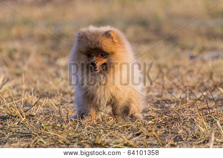 Pomeranian Puppy In Dry Grass