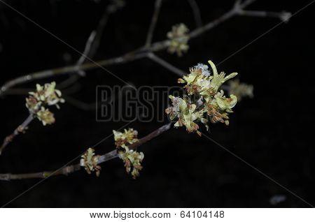 Burgeon At Spring In Siberia