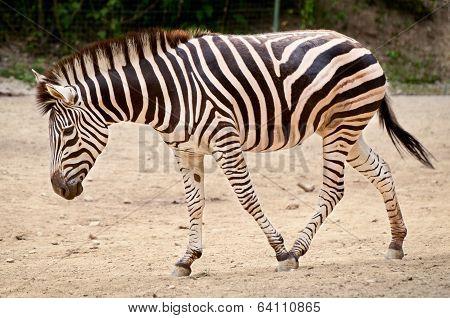 Zebra - Equus Quagga