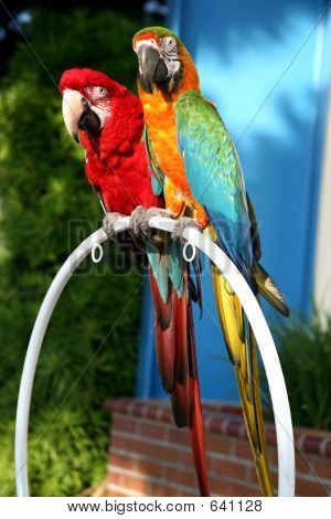 Macaw Duo