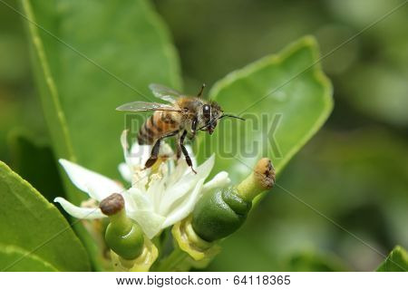 Honey Bee on an Orange Blossom