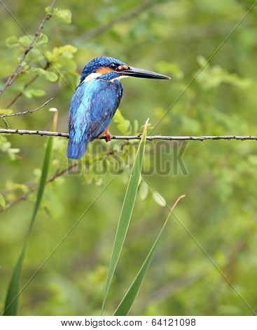 Beautiful blue Kingfisher on branch of tree