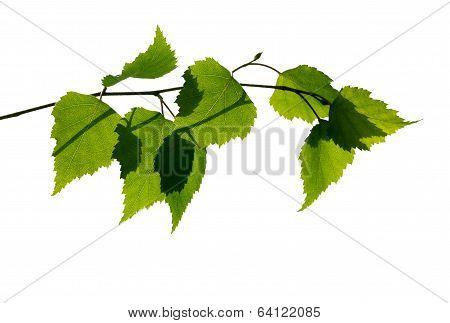 Birch Branch On White Background