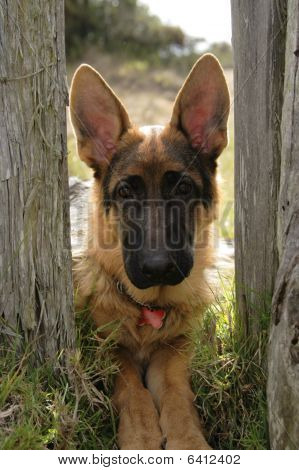 Young and cute german shepherd in a fence
