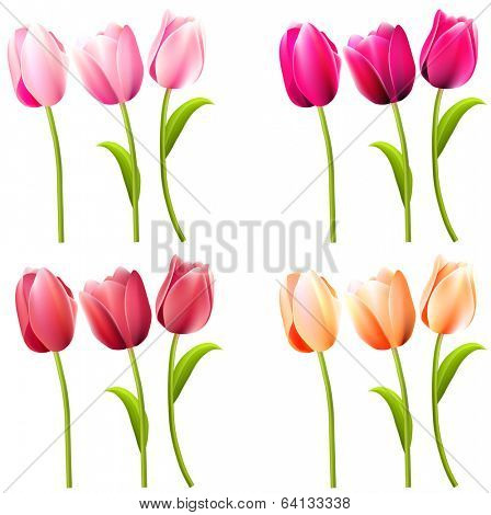 Some realistic tulips on white