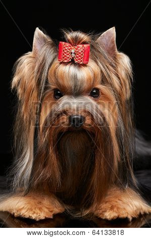 beautiful yorkshire terrier, isolated on the white