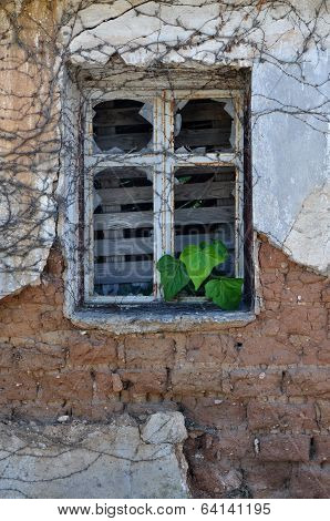 Ivy Leaves Growing Through Broken Window