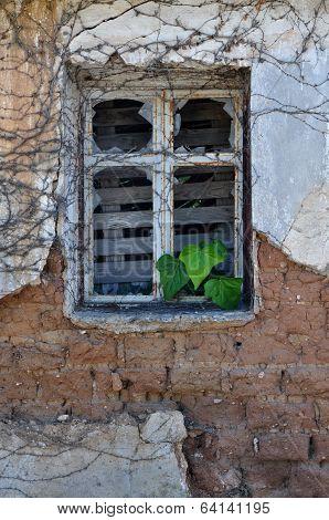 Ivy Leaves Growing Through Broken Window