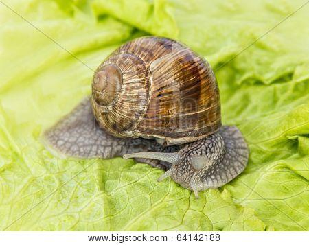 Burgundy snail eating a lettuce leaf