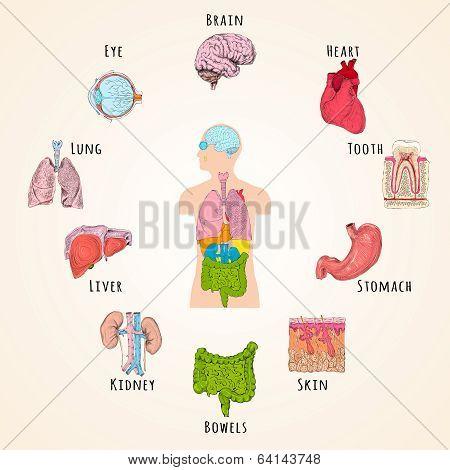 Human anatomy concept