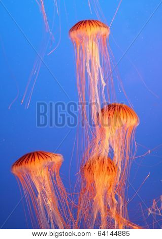 Aquarium with bright blue water. Four yellow-orange jellyfish with thin tentacles
