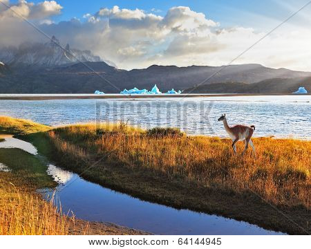 Trusting guanaco on the shore of Lake Grey.  National Park Torres del Paine, Chile.  Blue iceberg floating in the distance. Warm summer sunset light illuminates the grassy bank